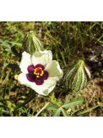 Hibiscus Trionum - 100 Seeds - Flower-of-an-Hour