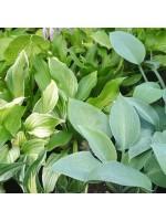 Hosta - 50 Seeds - Mixed Species