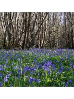 Hyacinthoides Non-scripta - 500 Seeds - European Bluebell