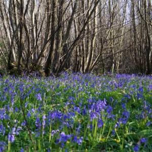 Hyacinthoides Non-scripta - 100 Seeds - European Bluebell
