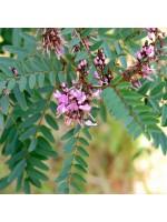 Indigofera Australis - 30 Seeds - Australian Indigo Bush