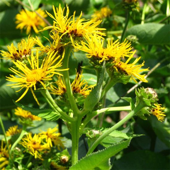 Inula Helenium - 100 Seeds - Elfwort - Elfodock - Horse Heal