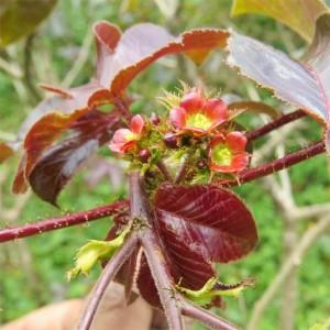 Jatropha Gossypifolia 10 Seeds - Bellyache Bush