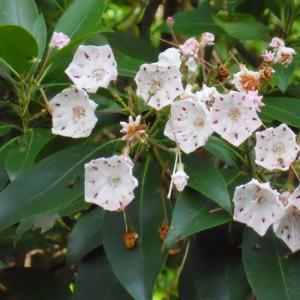 Kalmia Latifolia - 100 Seeds - Mountain Laurel - Spoonwood