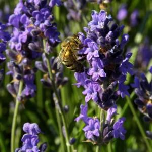 Lavandula Angustifolia ssp. Angustifolia - 500 Seeds - English Lavender