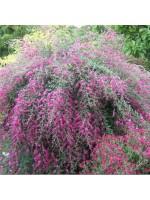 Lespedeza Bicolor - 100 Seeds - Shrubby Bushclover