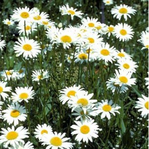 Leucanthemum Vulgare - 5000 Seeds - Ox-eye Daisy or Dog Daisy