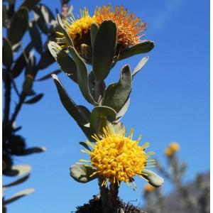 Leucospermum Rodolentum - Seeds - Sandveld Pincushion