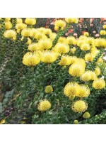 Leucospermum Cordifolium ' Yellow ' - 6 Seeds - Pincushion Protea