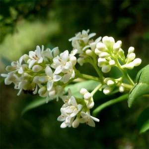 Ligustrum Vulgare - 50 Seeds - Common European Privet Hedge