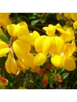 Lotus Corniculatus - 50 Seeds - Birds Foot Trefoil