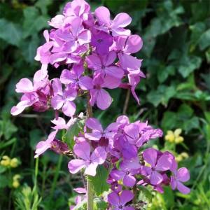 Lunaria Annua - 50 Seeds - Violet Honesty - Satin Flower