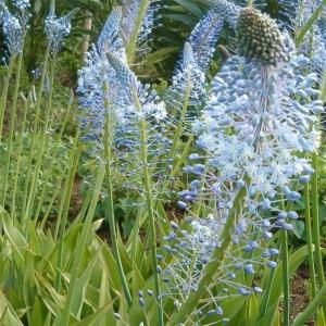 Merwilla Plumbea - 10 Seeds - Scilla South African Hyacinthe relative