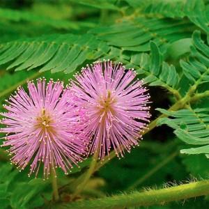 Mimosa Pudica - 200 Seeds - Sensitive Plant