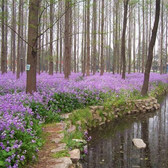 Orychophragmus Violaceus - 250 Seeds - Chinese Violet Cress
