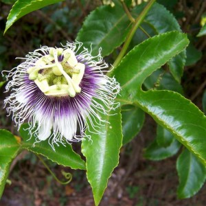 Passiflora Edulis v Flavicarpa - 25 Seeds - Yellow Passion Fruit Flower