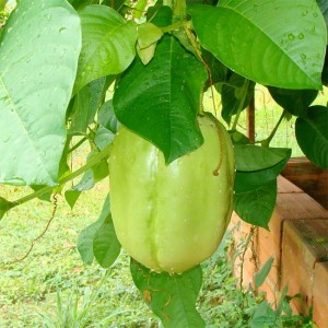 Passiflora Quadrangularis - 10 Seeds - Giant Granadilla Passion Flower