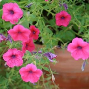Petunia Integrifolia - 2500 Seeds - Wild Petunia