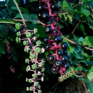 Phytolacca Americana - 30 Seeds - Pokeweed