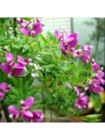 Polygala Myrtifolia - 10 Seeds - September Bush / Myrtle-leaf Milkwort