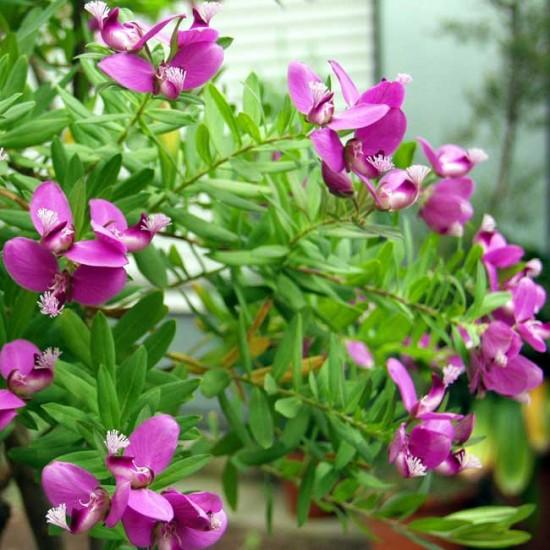 Polygala Myrtifolia - 10 Seeds - September Bush / Myrtle-leaf Milkwort
