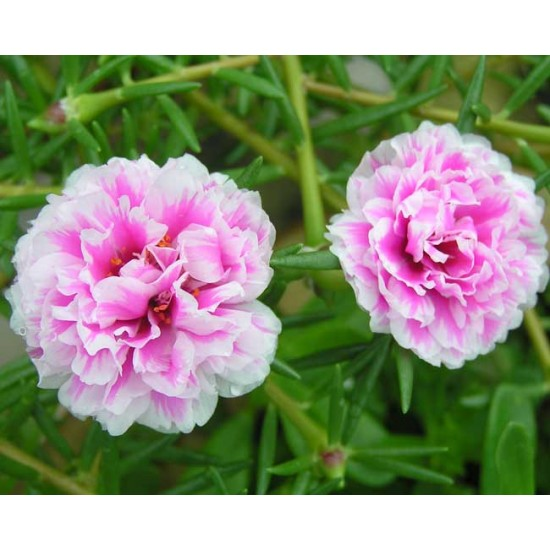 Portulaca Grandiflora Extra Double Mixed - 1000 Seeds - Mexican Rose / Purslane