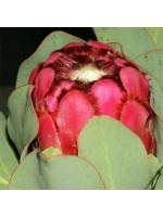 Protea Grandiceps Seeds - Peach or Princess Protea