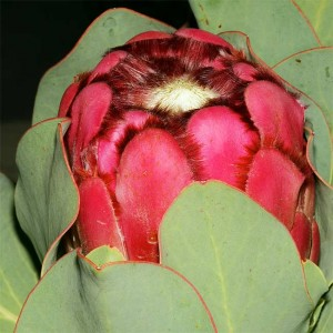 Protea Grandiceps Seeds - Peach or Princess Protea