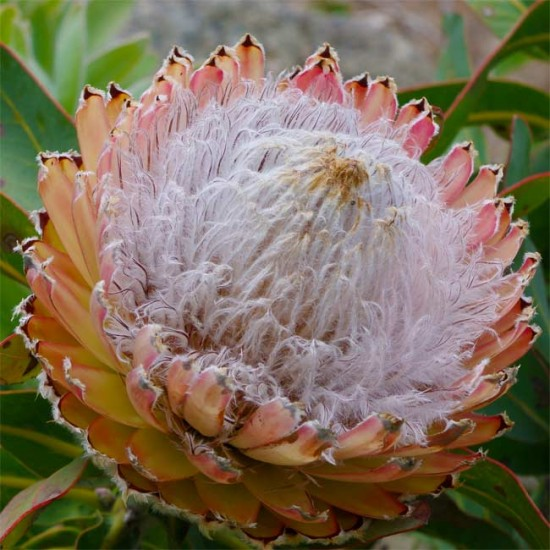 Protea Magnifica Seeds - Wooly Beard or Queen Protea