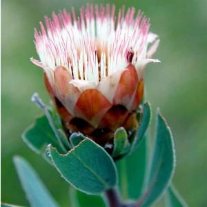 Protea Subvestita Seeds - Waterlily Sugarbush Protea