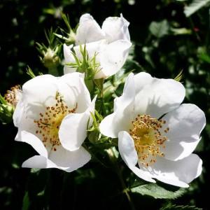 Rosa Canina - 50 Seeds - Dog Rose