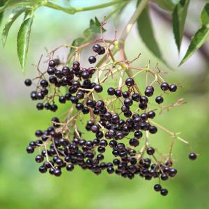 Sambucus Canadensis - 50 Seeds - Canadian Elderberry