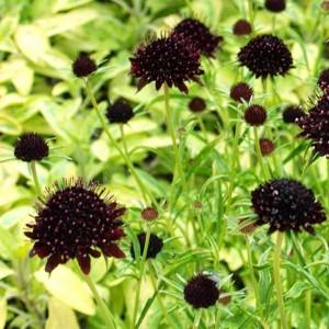 Scabiosa Atropurpurea Purple Black - 50 Seeds - Pincushion Flower