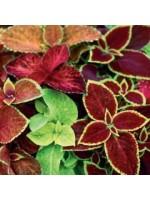 Solenostemon Scutellarioides - 50 Seeds - Wizard Mix Coleus