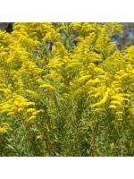 Solidago Canadensis - 100 Seeds - Golden Rod Golden Baby