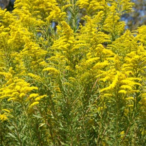 Solidago Canadensis - 100 Seeds - Golden Rod Golden Baby
