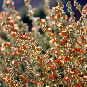 Sphaeralcea Ambigua - 100 Seeds - Desert Globemallow