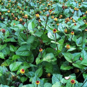 Spilanthes Acmella - 100 Seeds - Toothache Plant Medicinal