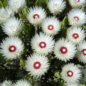 Syncarpha Vestita - 10 Seeds - Cape Snow