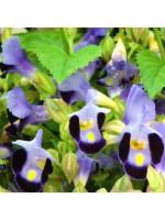 Torenia Fournieri - 25 Seeds - Wishbone Flower