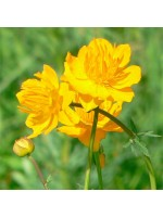 Trollius Chinensis - 50 Seeds - Globeflower