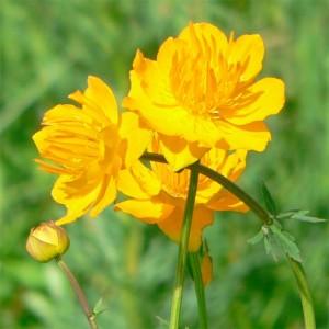 Trollius Chinensis - 25 Seeds - Globeflower