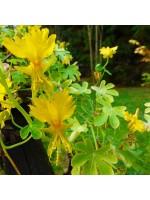 Tropaeolum Peregrinum - 50 Seeds - Canary Creeper Flower Nasturtium