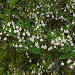 Vaccinium Arboreum - 30 Seeds - Sparkleberry / Farkleberry