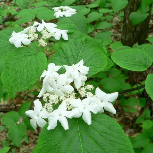 Viburnum Lantanoides ( Alnifolium ) - 15 Seeds - Alder Leaved Witch Hobble Bush