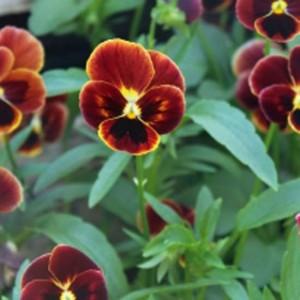 Viola Cornuta - 100 Seeds - Pansy - 'Arkwright Ruby'