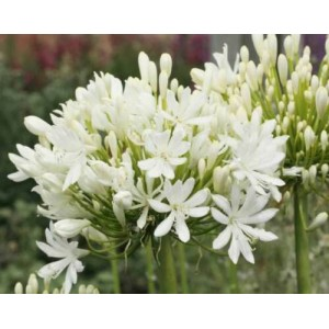 Agapanthus Praecox ' Getty White ' - 30 Seeds - Dwarf Lily of the Nile