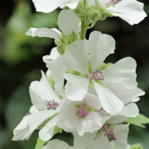 Althaea Officinalis - 100 Seeds - Marshmallow Medicinal
