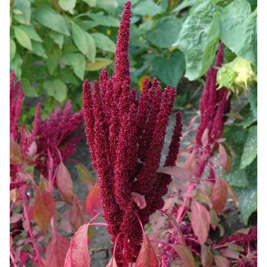 Amaranthus Hypochondriacus Pygmy Torch - 1000 Seeds