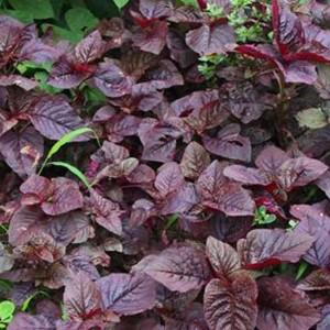 Amaranth - Red Army - 1500 Seeds - Amaranthus Tricolor Salad Microgreen Leaf
